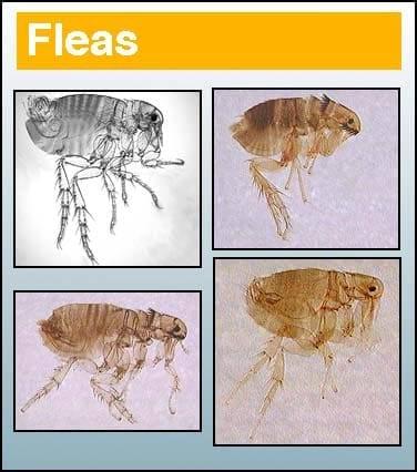 Fleas - Pest in North Mackay, QLD